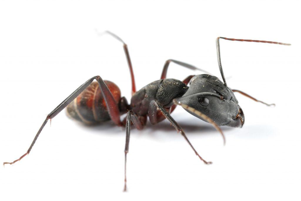 Ant Pest Control Brisbane
