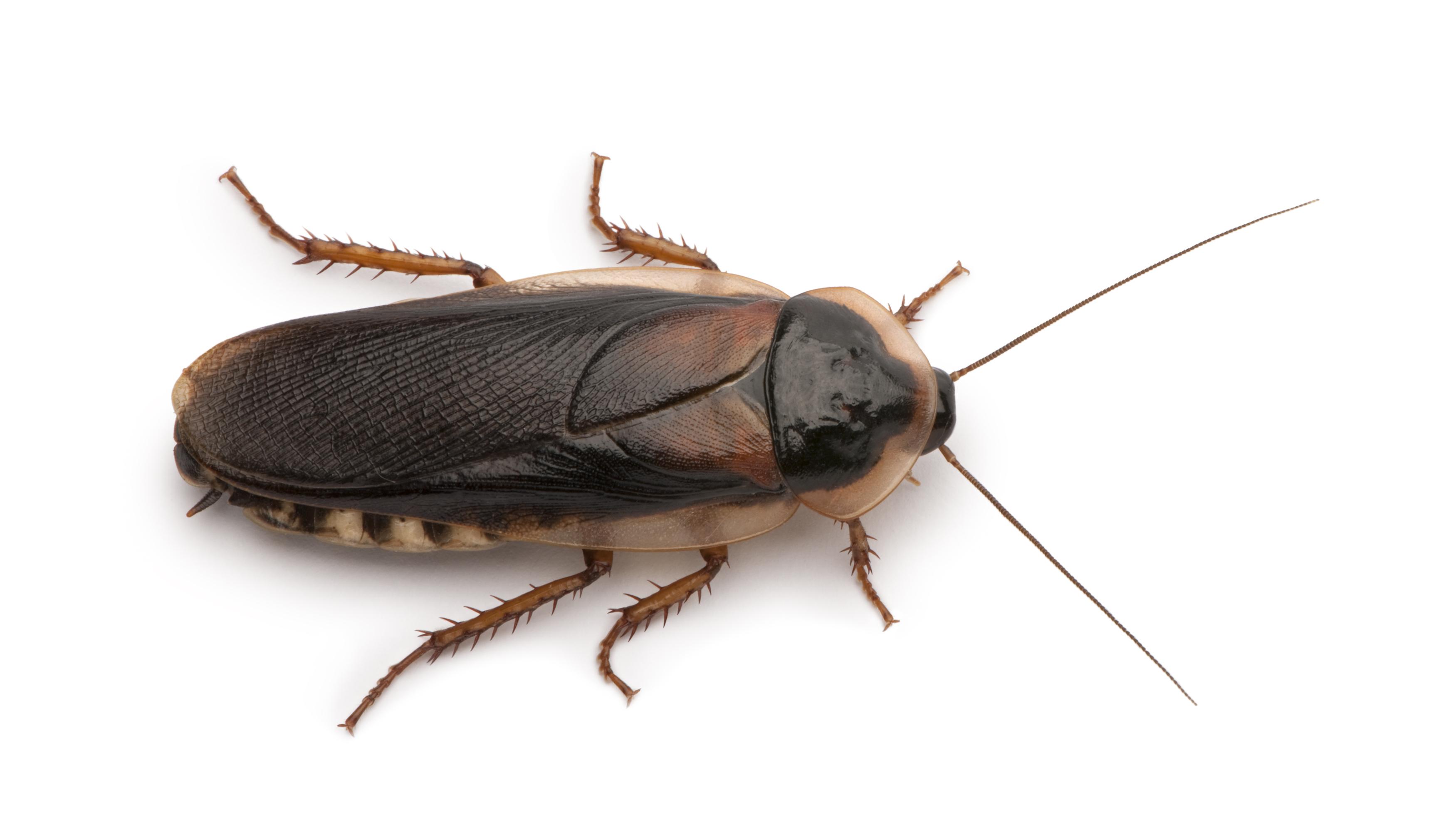 Cockroach Pest Control Brisbane