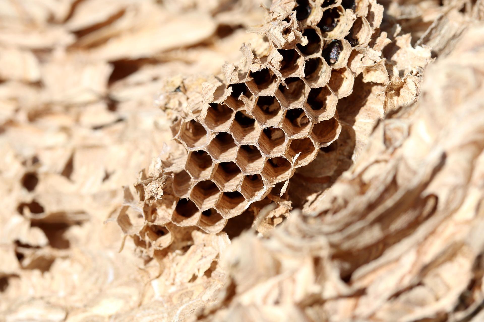 Wasp Control Brisbane